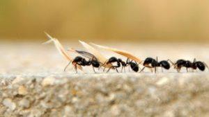 Read more about the article Mutfaktaki karıncalardan öldürmeden nasıl kurtulursunuz