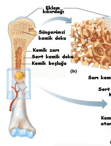 Kırık kemikleri bile iyileştiren doğal yağ